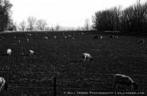 31 Sheep
